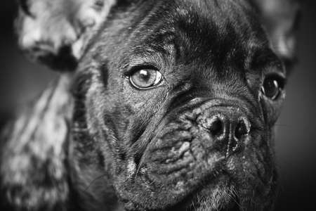 Photo pour Close Up Portrait Of Young Black French Bulldog Dog Puppy. Funny Dog Baby With Beautiful Black Snout Eyes Bulldog Puppy Dog. Adorable Sad Bulldog Puppy. Black And White Colors Photo - image libre de droit