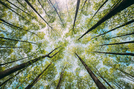 Looking Up In Beautiful Pine Deciduous Forest Trees Woods Canopy. Bottom View Wide Angle Background. Greenwood Forest. Trunks And Branches With Fresh Spring Lush