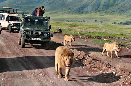 TANZANIA, NGORONGORO CONSERVATION AREA - FEBRUARY 13, 2008  Jeep safari in Africa, travelers, tourists photographed wild lions family  Carnivorous wild animals in wildlife move away from jeeps with day trippers