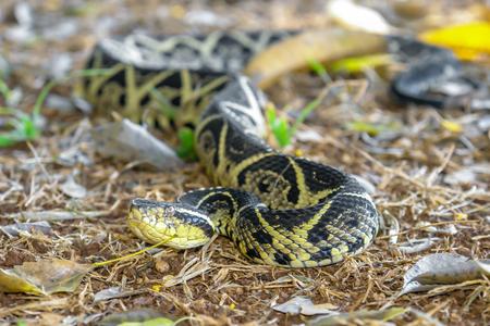 Niacanina snake