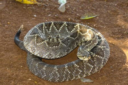 Rattlesnake or cascabel