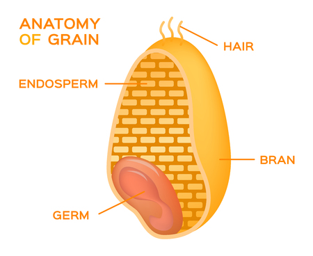 Grain cross section anatomy. Endosperm, germ, bran layer and hairs of brush