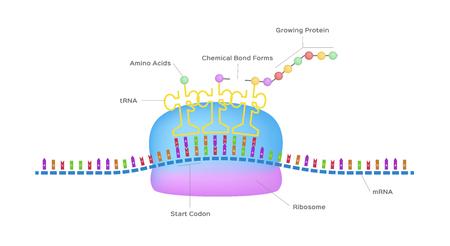 Ilustración de Protein synthesis vector ribosome assemble protein molecules - Imagen libre de derechos