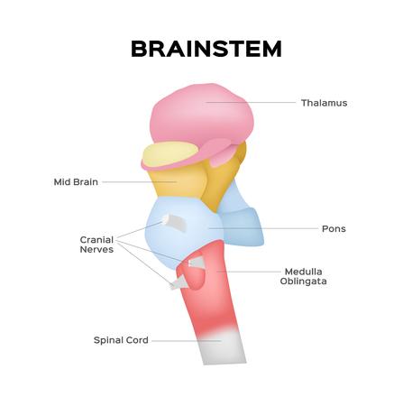 Illustration pour brainstem vector - image libre de droit