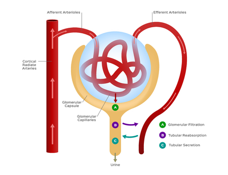 Nephron vector / formation of the urine / human organ and anatomy