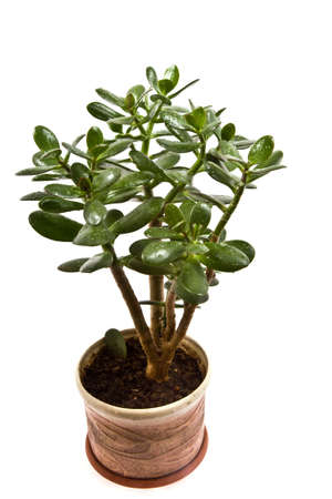 Crassula arborescens, or a monetary tree on a white background