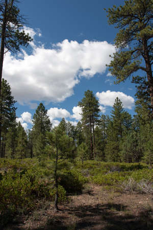 An open meadow surrounded by ponderosa pines in Bryce Canyon National Park, Utah