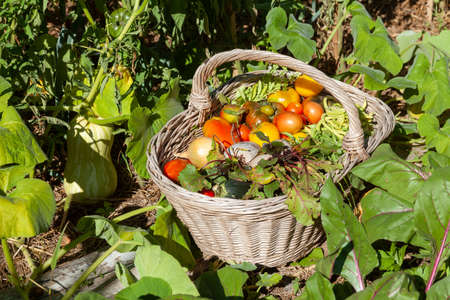 Photo for In the vegetable garden - basket of fresh vegetables placed on the ground - tomatoes, beans, beets, onions - Royalty Free Image