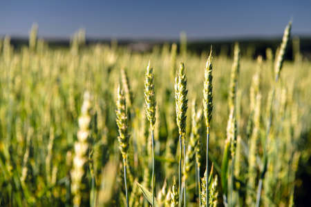 Photo pour Wheat field and countryside scenery. - image libre de droit
