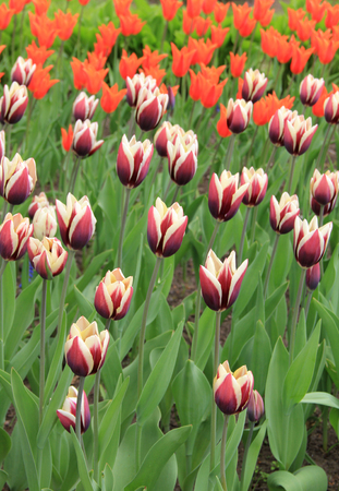 Photo pour Multicolored tulips against the background of grass in the park - image libre de droit