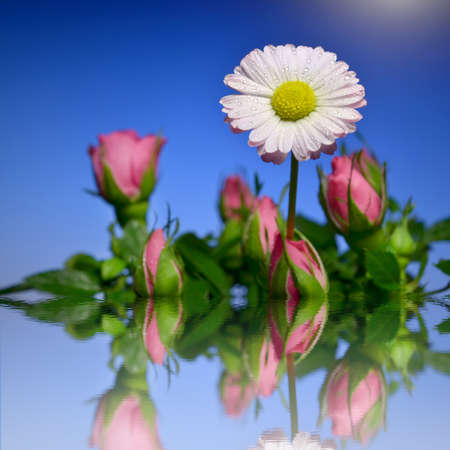 White daisy with a pink tinge in a bouquet of pink roses in the water  Mirror reflection in the water