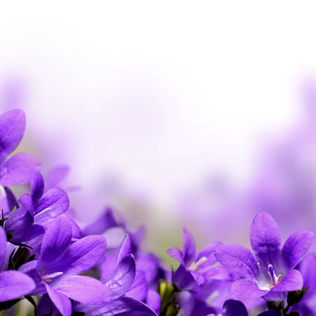 Photo for Campanula spring flowers border - Royalty Free Image