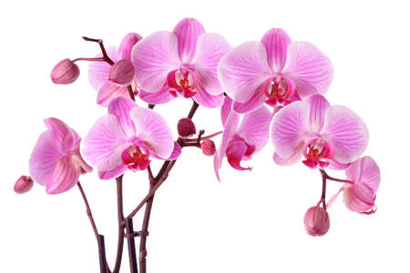 Foto de Purple orchids isolated on a white background - Imagen libre de derechos