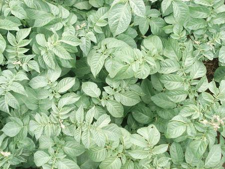 Image of a potato plant