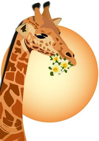 Giraffe - the tallest animal. Part of the animal. Giraffe holding flowers.