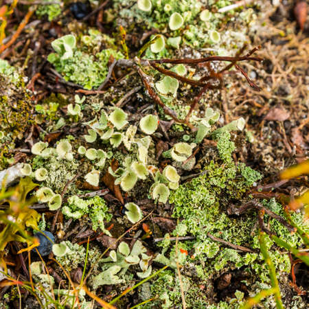 A lichen of the genus Cladonia sp. growing on the ground.