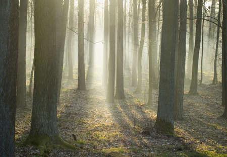 Oak forest morning