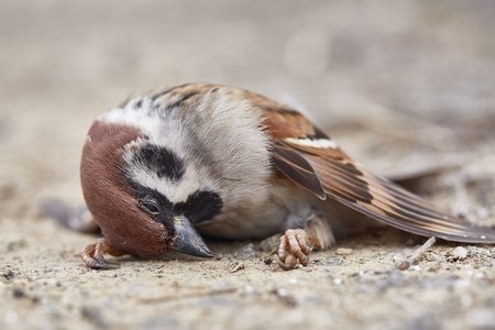 Photo pour Dead sparrow on the ground - image libre de droit