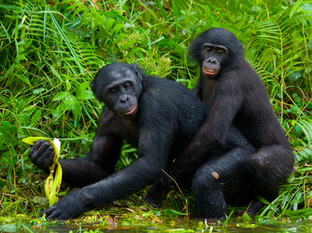 Foto de Two Bonobos make love with each other. Democratic Republic of Congo. Lola Ya BONOBO National Park. An excellent illustration. - Imagen libre de derechos