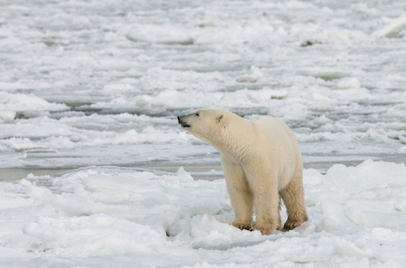 A polar bear on the tundra. Snow. Canada. An excellent illustration.