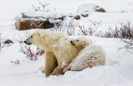Polar bear lying in snow in the tundra. Canada. Churchill National Park. An excellent illustration.
