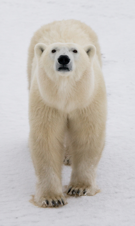 Portrait of a polar bear. Close-up. Canada. An excellent illustration.