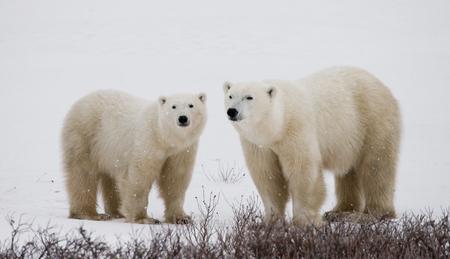 A polar bear on the tundra. Snow. Canada.