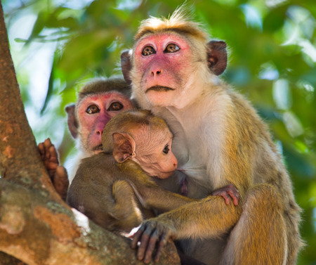 Family of monkeys sitting in a tree. Funny picture. Sri Lanka.