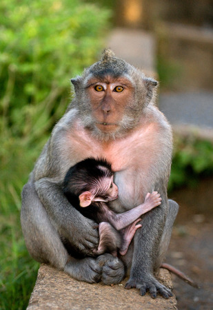 Macaque with a baby. Indonesia. The island of Bali. An excellent illustration.