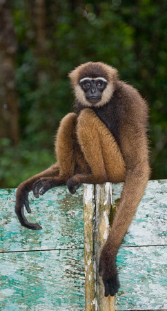 Portrait of Gibbon. Close-up. Indonesia. The island of Kalimantan (Borneo). An excellent illustration.