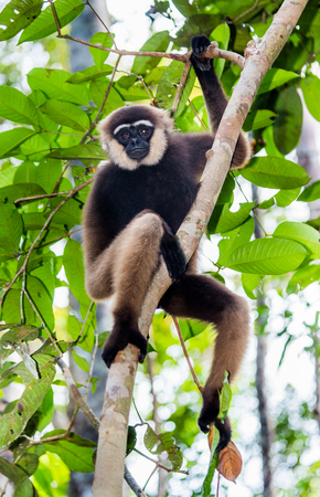 Gibbon sitting on the tree. Indonesia. The island of Kalimantan (Borneo). An excellent illustration.