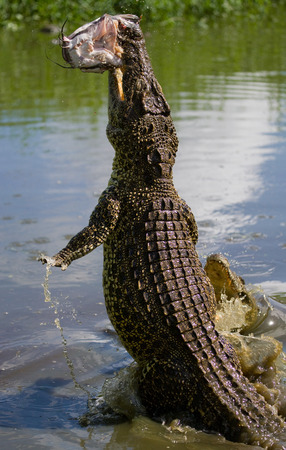 The Cuban crocodile jumps out of the water. A rare photograph. Cuba. An excellent illustration. Unusual angle.