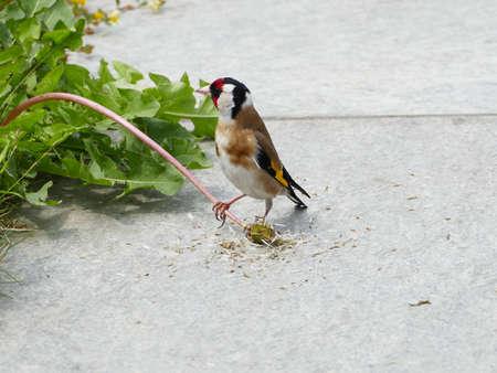 Photo pour fringillida, finch, colored finch, goldfinch - image libre de droit