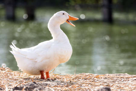 White duck stand next to a pond or lake with bokeh background