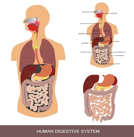 Digestive system, detailed medical illustration.