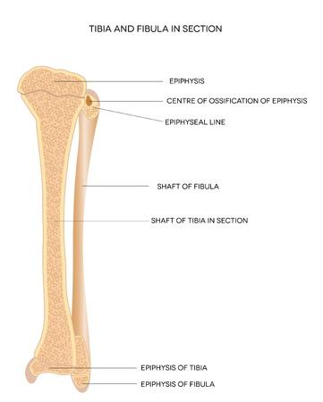 Tibia and Fibula  Leg bones, detailed illustration  Isolated on a white background