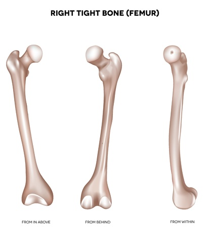 Right tight bone- Femur  Bone of the lower extremity  From above, behind and within  Detailed medical illustration  Isolated on a white background  Bright and clean design