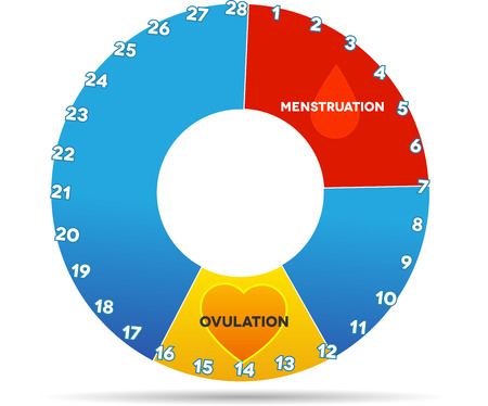 Menstrual cycle graphic. Avarage menstrual cycle days. Bleeding period (red color) and ovulation (yellow). Isolated on white.