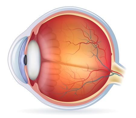 Human eye anatomy diagram, medical illustration. Isolated on a white bacground.