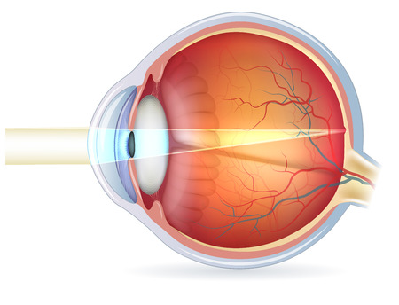 Anatomy of the eye, cross section and view of fundus. Detailed illustration.