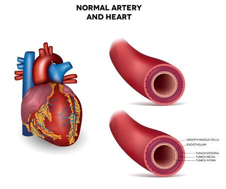 Healthy human elastic artery, detailed illustration