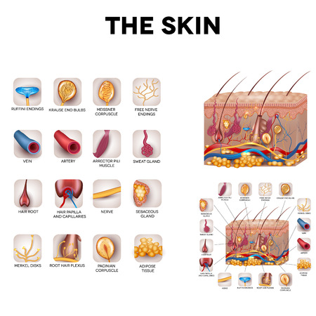 The skin and skin structure components, detailed illustration. Skin sensory receptors, vessels, hair, muscle, etc. Beautiful bright colors.