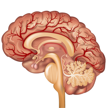 Illustration pour Brain and Blood vessels of the brain, beautiful colorful illustration detailed anatomy. Cross section, isolated on a white background. - image libre de droit