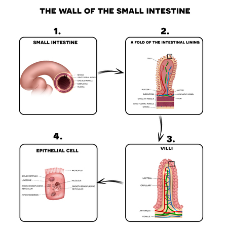 Illustration pour Small intestine wall anatomy, a fold of the intestinal lining, villi and epithelial cell with microvilli detailed illustrations. - image libre de droit