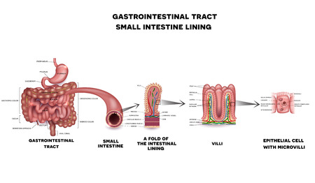 Illustration pour Gastrointestinal system small intestine detailed wall anatomy. Small intestine villi and epithelial cell with microvilli detailed illustration. - image libre de droit