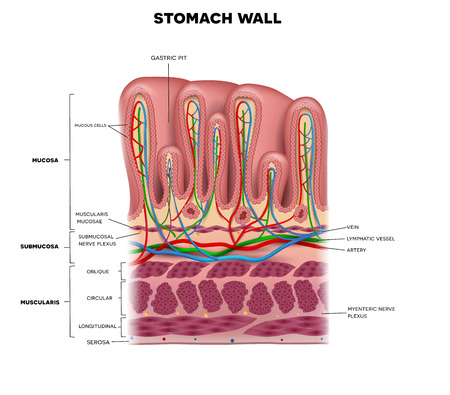 Illustration pour Stomach wall layers detailed anatomy, beautiful colorful drawing on a white background - image libre de droit