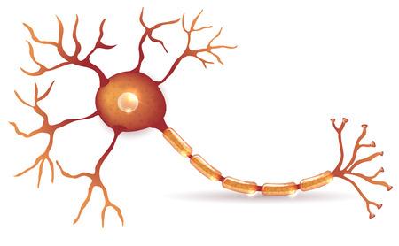 Nerve cell anatomy detailed illustration