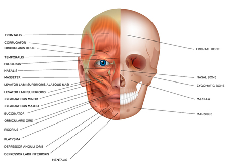 Illustration for Muscles and bones of the face detailed bright anatomy isolated on a white background. - Royalty Free Image
