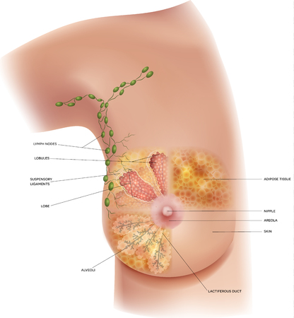 Ilustración de Female Breast anatomy and axillary Lymph nodes detailed colorful illustration - Imagen libre de derechos
