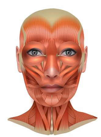 Illustration pour Muscles structure of the female face and neck, detailed bright anatomy isolated on a white background - image libre de droit